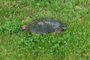 turtlegrass