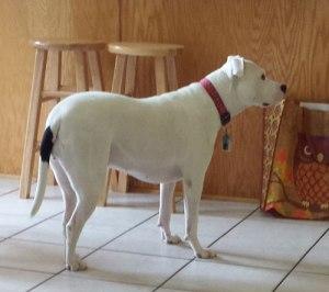 kitchendog